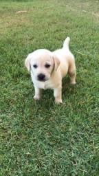 Título do anúncio: Labrador com pedigree e microchip e