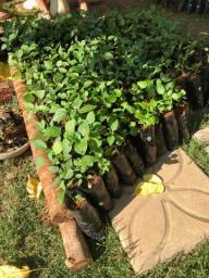 Mudas de Pimentas Agroecológicas