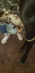Vaca peimeira cria muito mansa