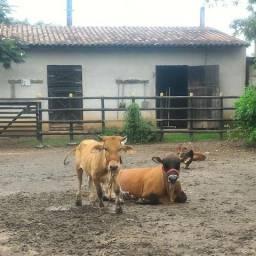 Mini vaca e mini touro reprodutor