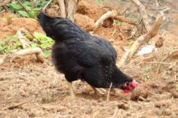 Galinha, Galo e frangos em Santa Isabel 100% caipira