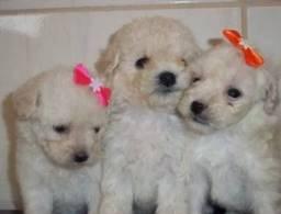 Título do anúncio: Poodle Lindíssimos Filhotes á Disposição!!!
