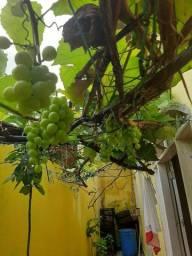 Título do anúncio: vende-se mudas de uva