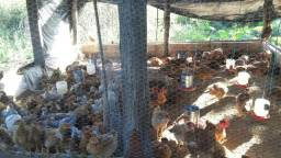 80 galinhas caipiras   reais não atendo pelo chão só zap