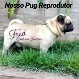 Pug procura namorada