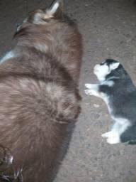 Husky siberiano puro,,pelo longo,com heterocromia ,aceito cartão