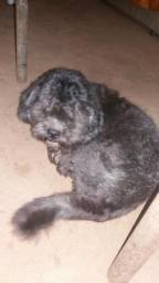 Estou vendendo um cachorro da raça shih tuz em Aparecida de Goiânia