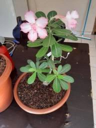 Rosas Do deserto 40 reais pra hoje