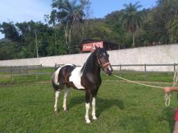 Garanhão Pampa MM