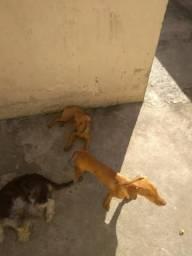 Doa se dois filhotes de salsicha