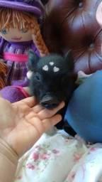 Mini pig fêmea