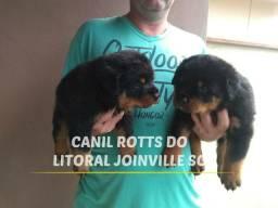 Rottweiler com pedigree CBKC já encaminhado