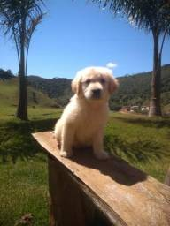 Golden Retriever-Canil Canaã//Piauí