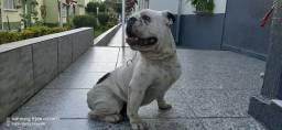 Bulldogue inglês procura namorada