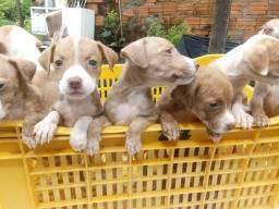 Filhotes de pitbull misturado com vira-lata