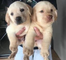 Título do anúncio: Labrador com pedigree e microchip
