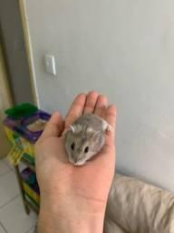 Vendo filhotes de hamster Anão  Russo