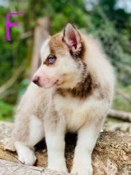Título do anúncio: Husky siberiano filhotes várias cores