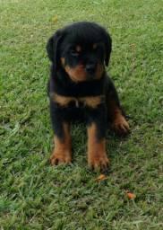Rottweiler filhotinhos, venham nos fazer uma visita!! Contato> 11.9.5600-5535 whats