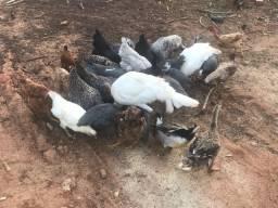 Vendo frangos e galos