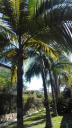 Mudas de palmeiras reais e imperial