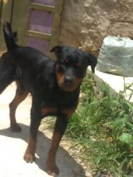 Rottweiler cabeça de Touro Macho