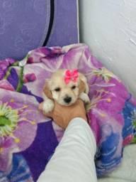 Poodle mini toy lindíssimos