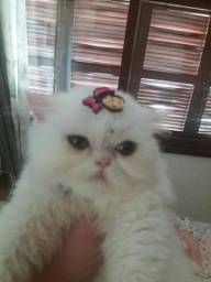 Vendo gata persa pura 3 meses