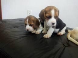 Beagle inglês-Canil Canaã//ES