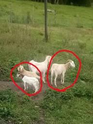 Cabra com dois filhotes