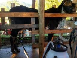 Vaca girolando com bezerro