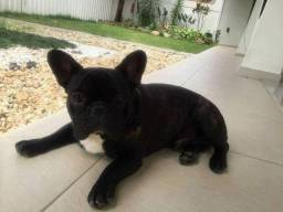 Bulldog Francês importado Colômbia