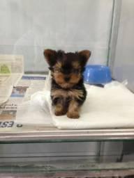 Yorkshire Terrier linhagem campeã! filhotes em loja a pronta entrega (11)97272-7778Ralyson