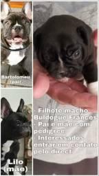 Filhote Macho de Bulldog Francês