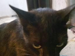 Adoção de gato macho castrado