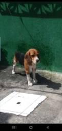 Beagle procura namorada. Pedigree