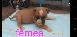 Filhotes de American Staffordshire Terrier. #AMSTAFF