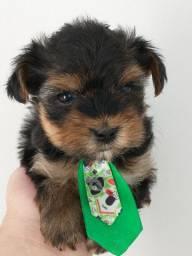 Gostosuras de yorkshire terrier