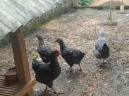 Vendo galinha carijó