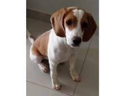 Vendemos filhote de Beagle