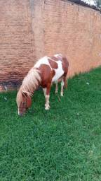 Garanhao poney