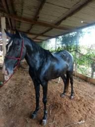 Égua Appaloosa - Urgente