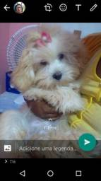 Lhasa Apso femia tem 4 meses