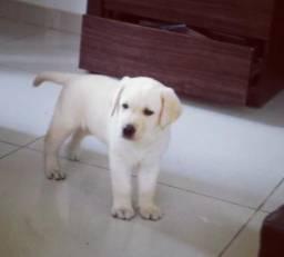 Black Friday Labrador 100 % Puros