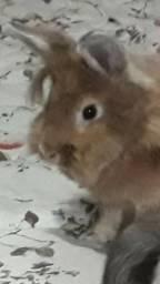 Doação mini coelho adulto (mini Lyon)