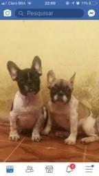 Bulldogue Frances macho zap. 992021753
