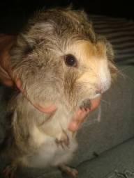 Porquinho da India macho, 35 dias, arrepiado cor creme com mesclas, Imbé - RS