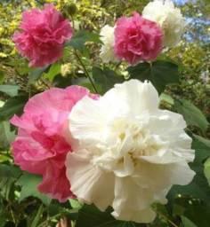 Amor-dos-homens, Hibiscus mutabilis, Rosa Louca