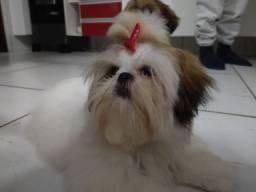 Fêmea Shitzu 9 meses