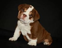 Bulldog Inglês, macho e fêmea á pronta entrega